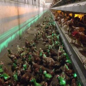 Hen Farm